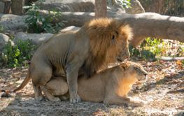 couple of lions copulate