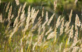 Grässtrån med ax i motljus