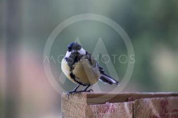 fågel tittar på kameran