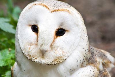Barn owl or Church owl - square image