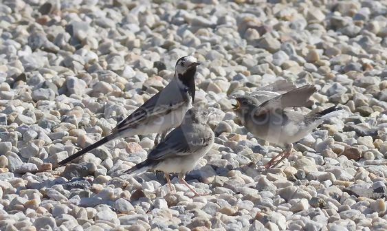 Sädesärla   fåglar    fågelungar