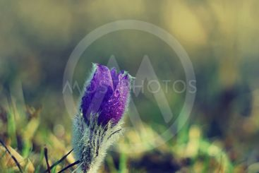 Spring flowers. Beautifully blossoming pasque flower and...