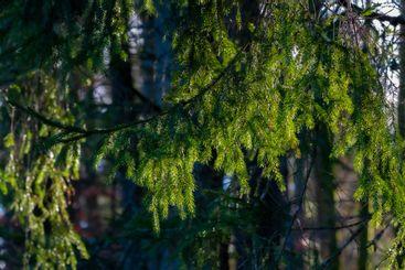 Grön grankvist i sin naturliga miljö - Silvertid