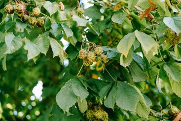 The fruit of horse chestnut on the branches of the tree...