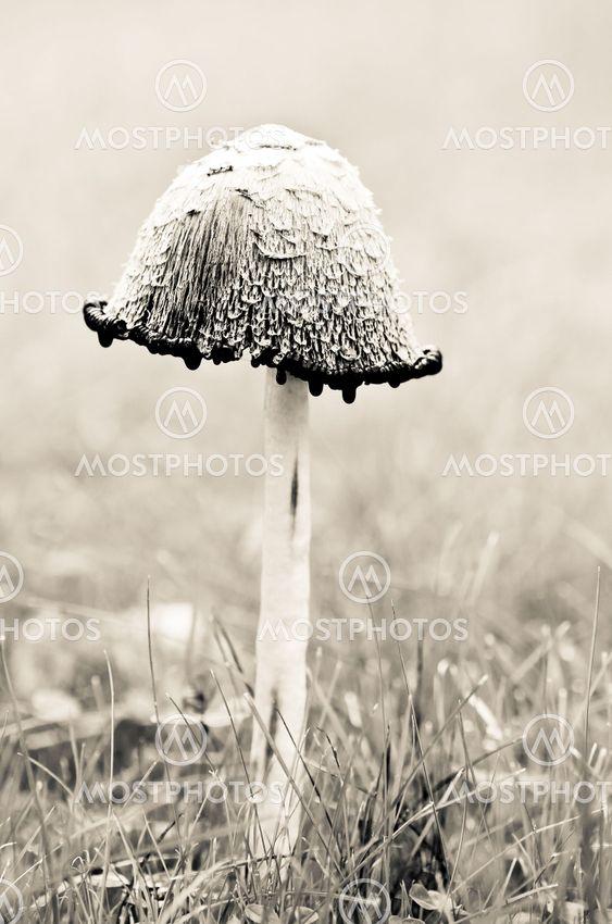 Övermogen fjällig bläcksvamp på gräsmatta