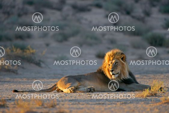 Big male African lion resting