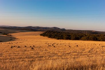 Sheep grazing in a wheat field of a village in Andalusia