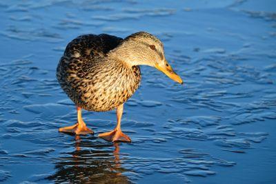 Duck on thin ice