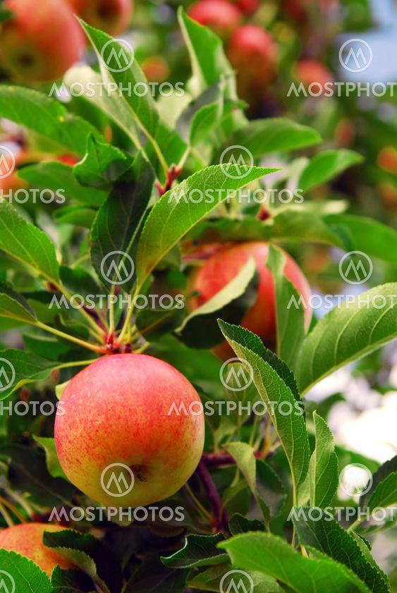 Apple fruktodling
