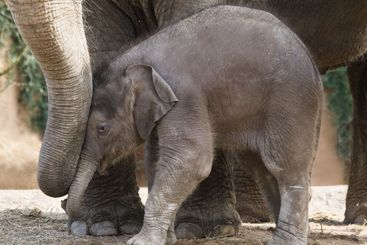 Asian baby elephant playing