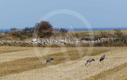 Tranor söker föda på en stubbåker på Öland