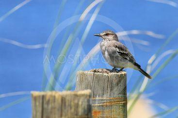 Fuscous flycatcher Cnemotriccus fuscatus sitting on a...