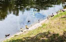 various ducks on waterfront of forest river