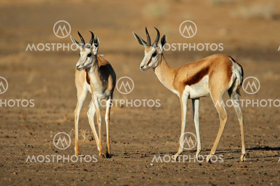 Springbock antiloper