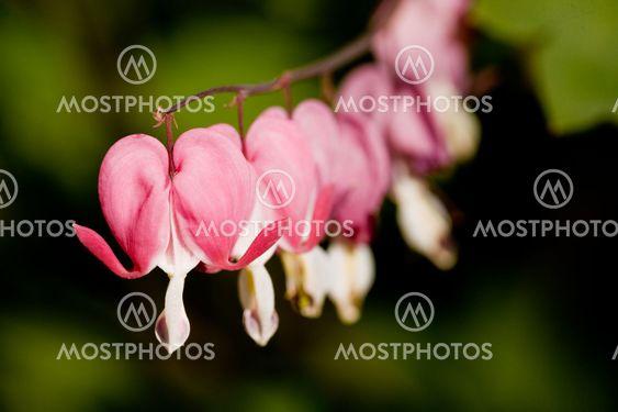 Blødende hjerte blomst