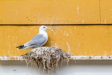 Seagull nest in Norway