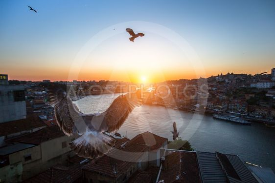 Seagulls fly over the Douro river during sunset. Porto,...