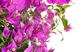 bougainvillea in studio