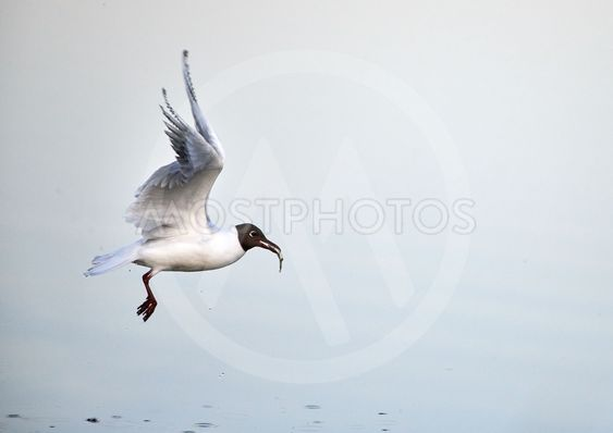 Black-headed gull with freshly caught small fish in its...