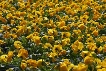 yellow blooming flowers