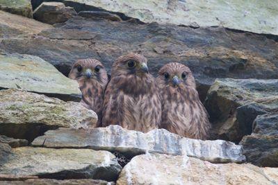 falcon nest
