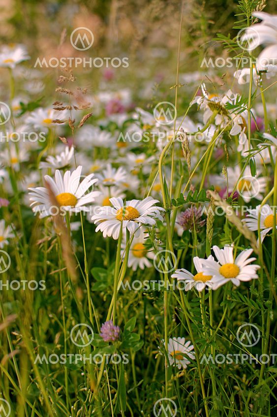 blooming Matricaria chamomilla flowers on a green meadow