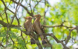 pair of hoopoe sitting on branch
