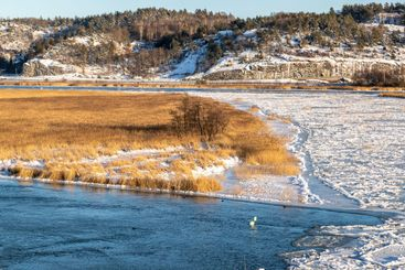 Icy river and yellow reeds