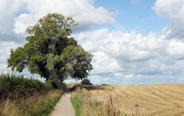 Single tree by the pathway