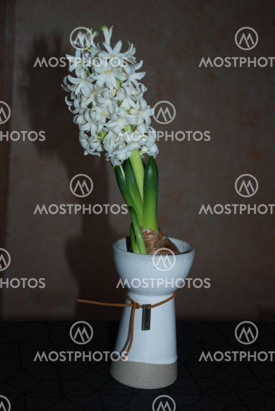 Vit hyacint i decembermörker  (Sweden)