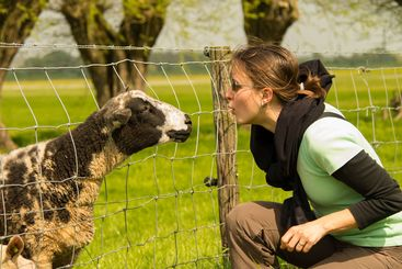 Curious sheep and a young girl