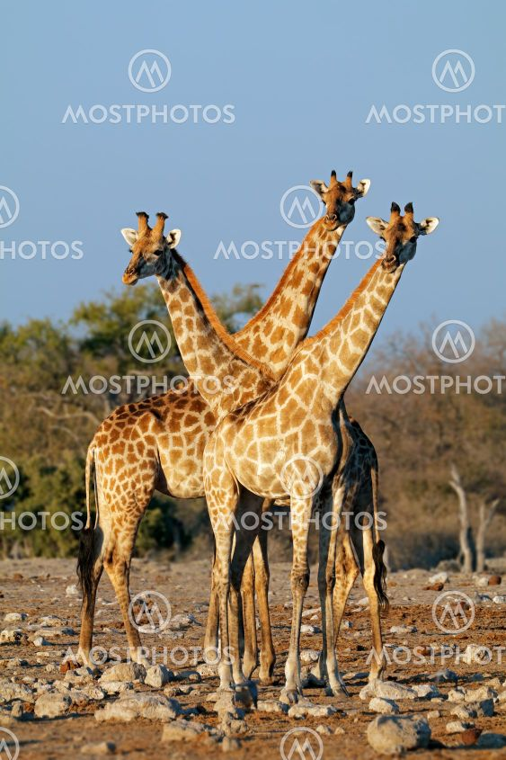 Giraffes in natural habitat - Etosha National Park
