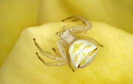 Flower crab spider on a rose petal
