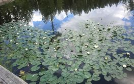 Lake full of water lilies
