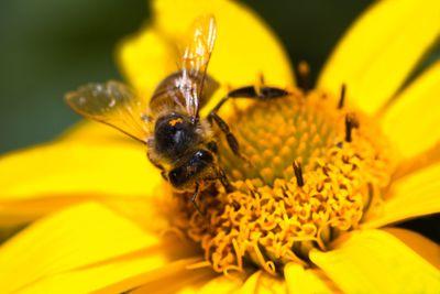 Honey-bee on yellow flower