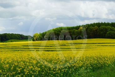 Yellow rapeseed fields
