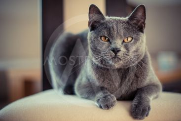 A cute gray cat with an angry look.