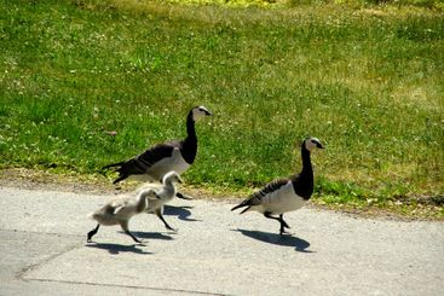 Walking birds