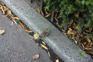 Sparrow sitting on the ground and looking up at camera