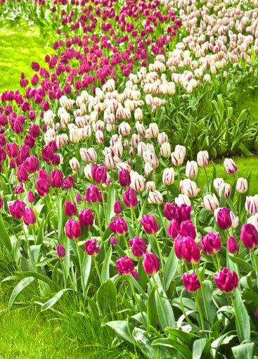 Beautiful purple and white tulips in spring