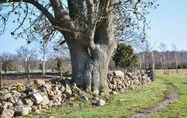 Stort träd vid en gammal väg genom Borgs by på Öland