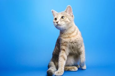 Gray tabby cat on a blue background looks up. Animal...