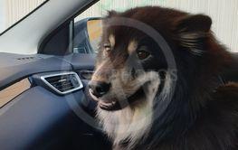 Finsk lapphund sitter i bilen