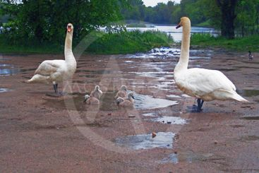 White Swans with chicks