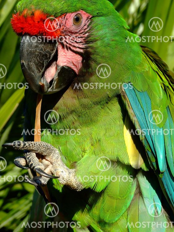 Military Macaw Parrot