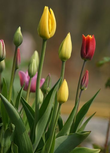 Tulips on the rise