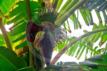 Bunch of green bananas with banana flower on a tree