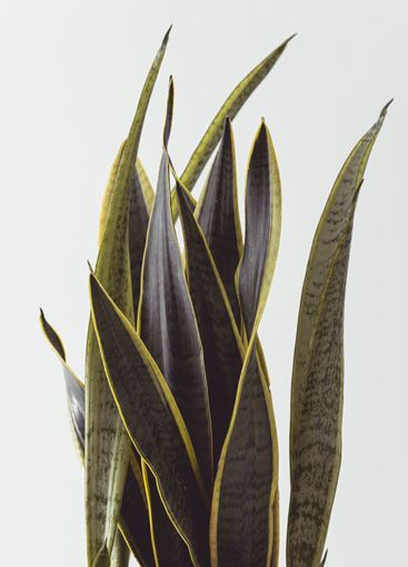 sansevieria ideal for Nordic decoration, both in pot and...