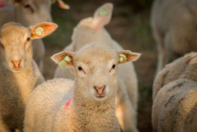 lamb herd