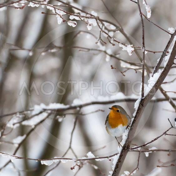 Little Robin bird in a snowy ree